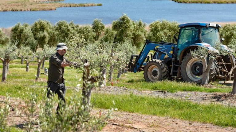 SA olive farm ready for new owner-operator