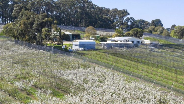 Red Hill Cherry Farm ripe for the picking