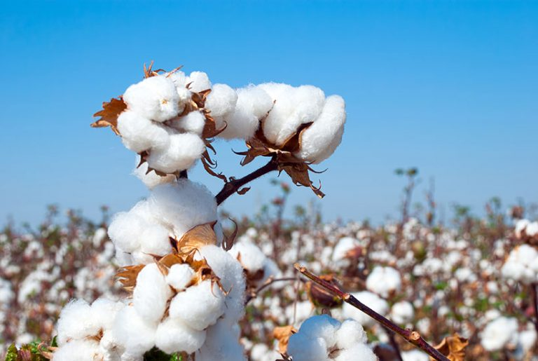Two cotton farms on Queensland-NSW border could fetch up to $25m